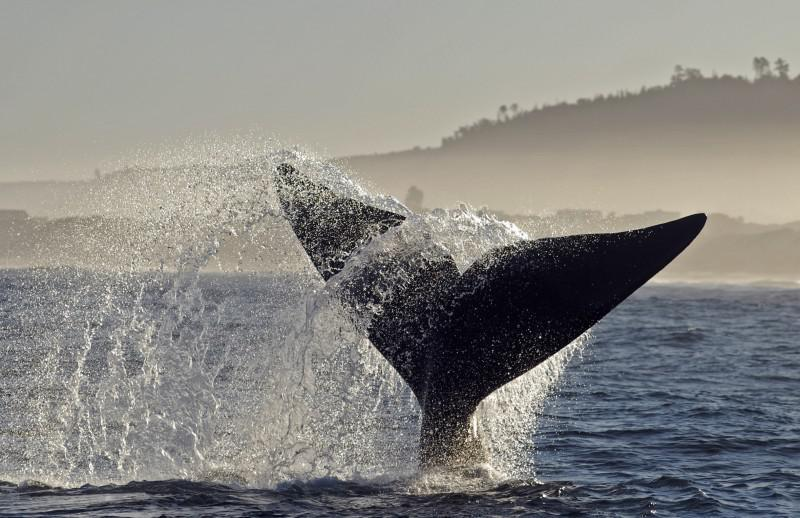 Hermanus: Hermanus is a coastal town on the southern coast of the Western Cape, renowned for its perfect whale-watching experience. Humpbacks and blue whales can be spotted along its coast from June to December. (Southern Destinations.com)