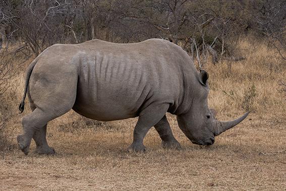 JACO-ALLERS_rhino
