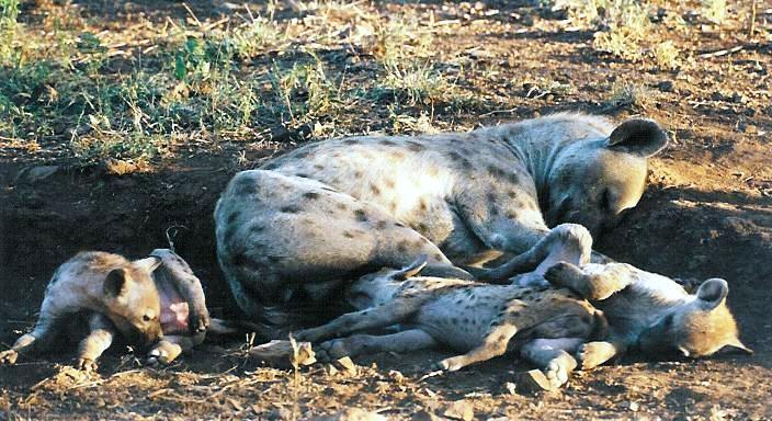 Jo-Anne-Hyena-fam1