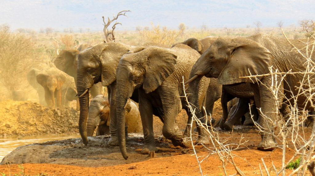 sara-Elephants