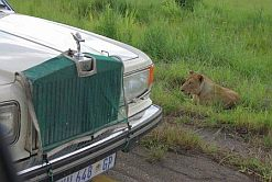 Car meets lion on a Zambian road