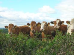 Cows to Kilowatts takes abattoir waste and converts it into a low-cost renewable energy source