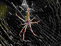 Nephila Komaci Biggest web-spinner fo...