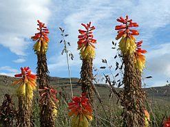 Flowers growing in the Drakensberg's Injasuthi nature reserve