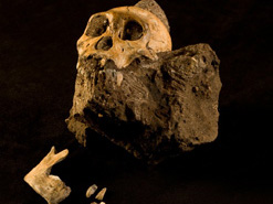 The skull and skeletal fragments of the  juvenile male fossil Australopithecus  sediba, a newly discovered species of  hominid