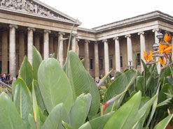The main entrance of the British Museum peeks over a display of Strelitzia reginae, the bird-of-paradise flower