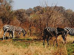Zebras grazing in Madikwe Game Reserve, on which Manyeleti is being modelled.