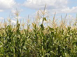 The development of hardier maize varieties will change the lives of millions of Africans.