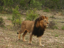 The Big Five - lion, leopard, elephant, buffalo and rhino - are a feature of game viewing at Exeter.