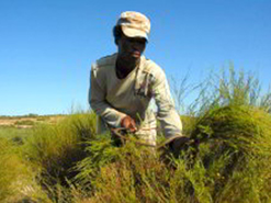 Rooibos is native to South Africa and is only grown in a small area in the  Western Cape province.