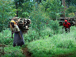 Women carry firewood out of a forest in eastern Uganda. Officials say a high population density in the Mount Elgon region had put a lot of pressure on the area's ecosystem.