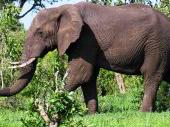 The savannah elephant roams the bush of Southern and East Africa.