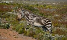 One of five Cape Mountain zebras in the park.