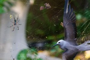"""Sticky situation: Isak Pretorius's photo shows a lesser noddy trapped in an orb web spider's web on Cousine Island in the Seychelles. Photo: Isak Pretorius / <a href=""""http://www.nhm.ac.uk/visit-us/whats-on/temporary-exhibitions/wpy/index.jsp"""" target=""""_blank"""" data-mce-href=""""http://www.nhm.ac.uk/visit-us/whats-on/temporary-exhibitions/wpy/index.jsp"""">Wildlife Photographer of the Year 2013</a>"""