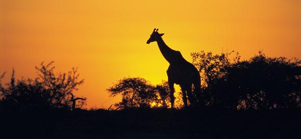 Giraffe at sunset in the Kruger National Park