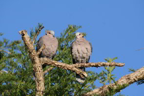 Cape Turtle Dove (Streptopelia capicola)