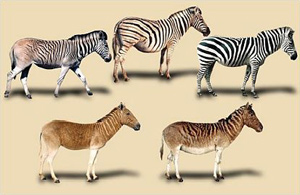Variation in the plains zebra