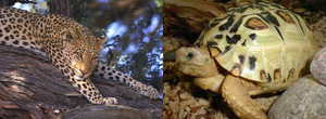 Leopard and leopard tortoise